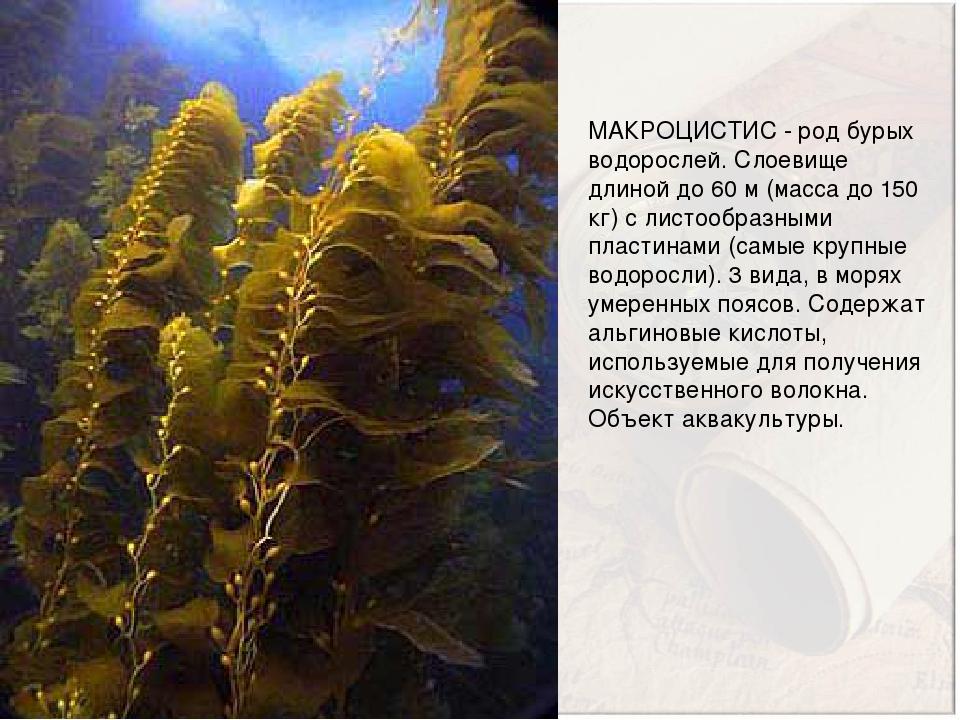 МАКРОЦИСТИС - род бурых водорослей. Слоевище длиной до 60 м (масса до 150 кг) с листообразными пластинами (самые крупные водоросли). 3 вида, в моря...