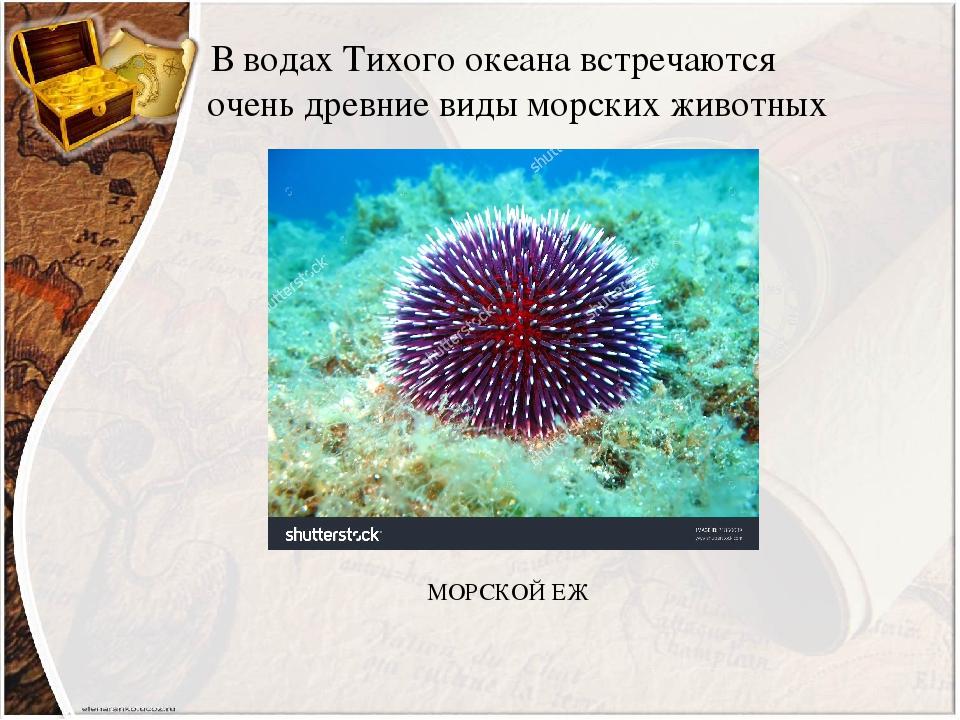 В водах Тихого океана встречаются очень древние виды морских животных а МОРСКОЙ ЕЖ