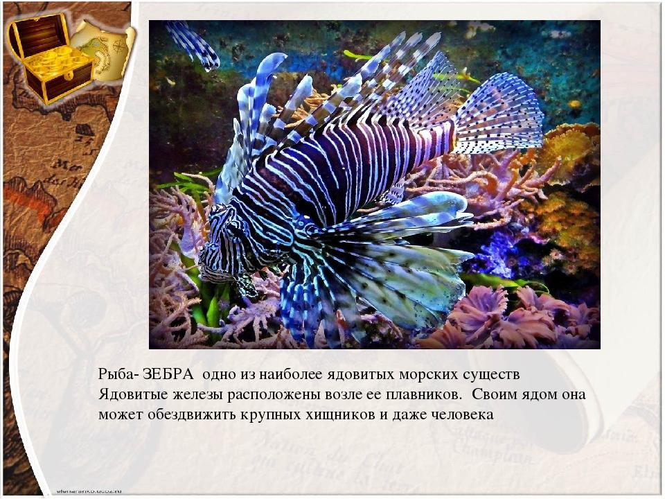 Рыба- ЗЕБРА одно из наиболее ядовитых морских существ Ядовитые железы расположены возле ее плавников. Своим ядом она может обездвижить крупных хищн...