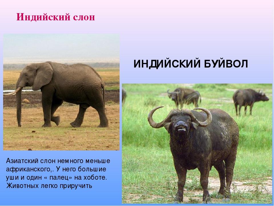 Индийский слон ИНДИЙСКИЙ БУЙВОЛ Азиатский слон немного меньше африканского,. У него большие уши и один « палец» на хоботе. Животных легко приручить