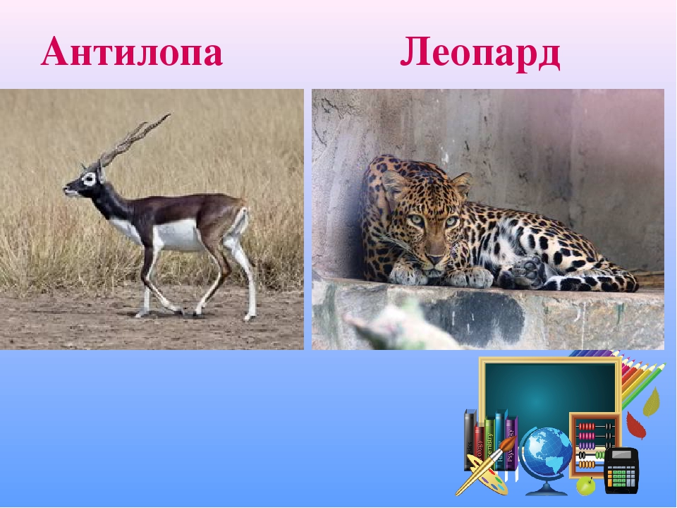 Антилопа Леопард