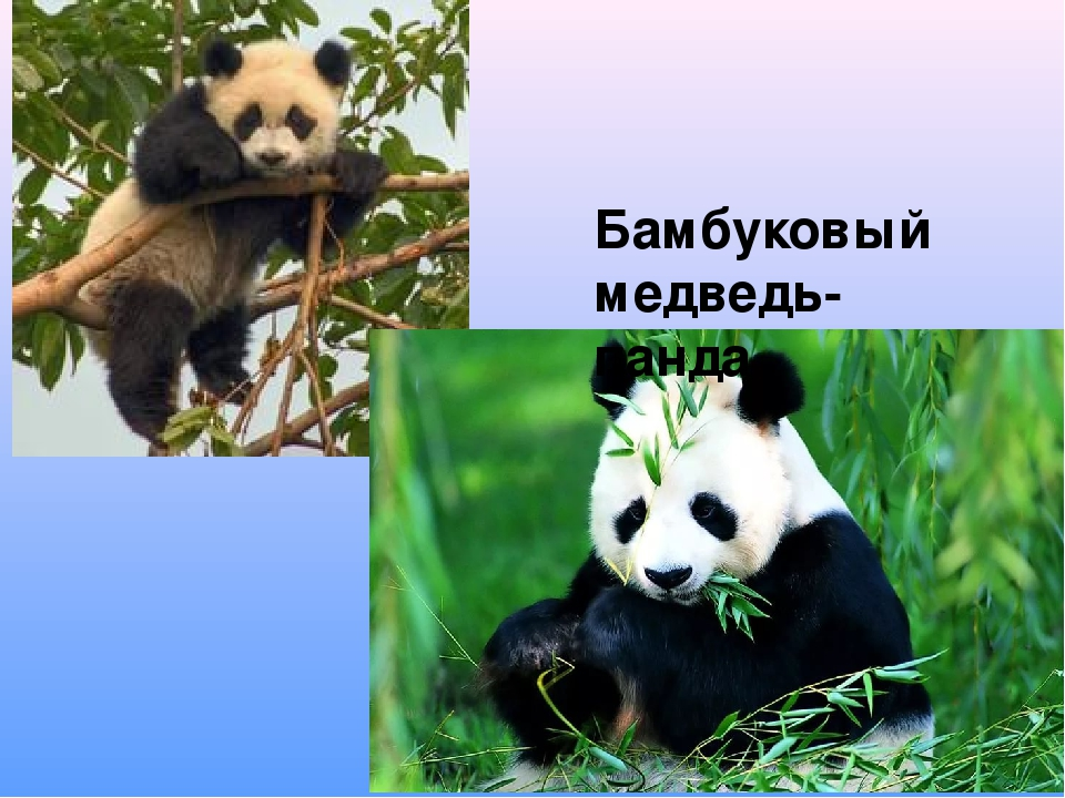 Бамбуковый медведь- панда