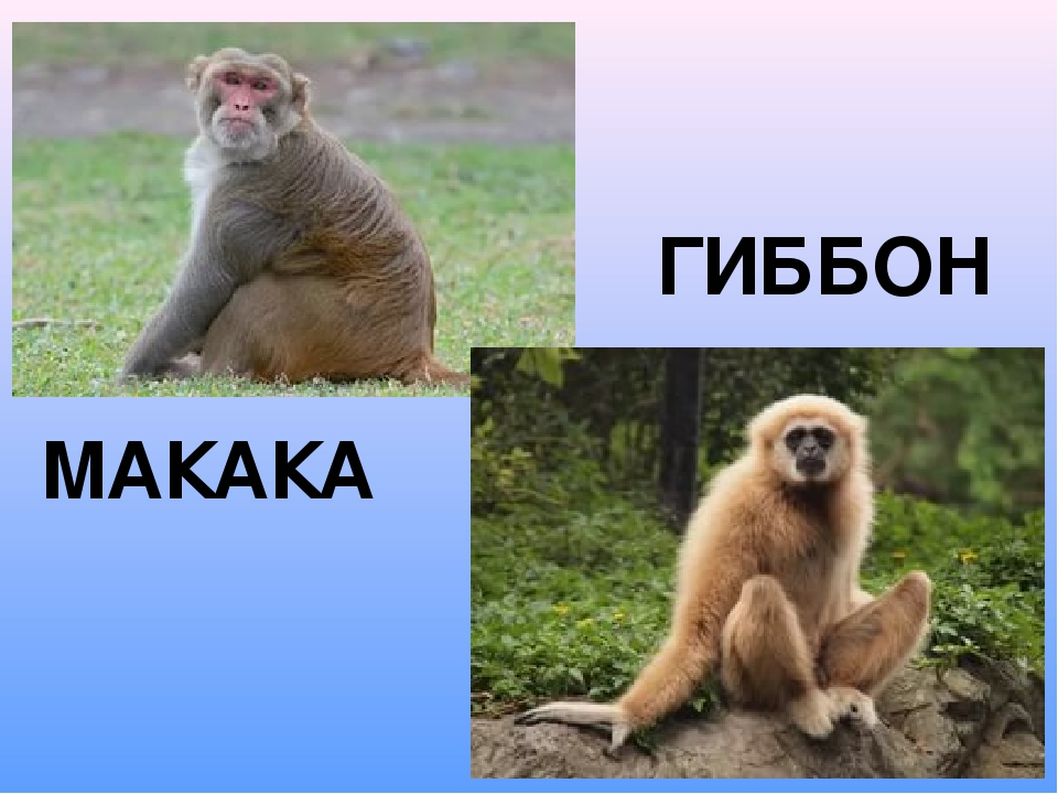 ГИББОН МАКАКА
