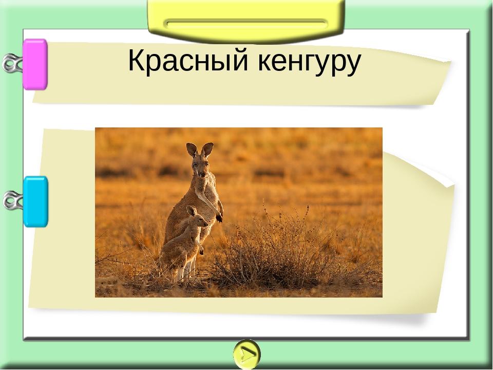 Красный кенгуру