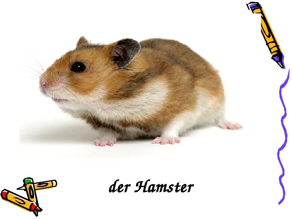 der der Hamster