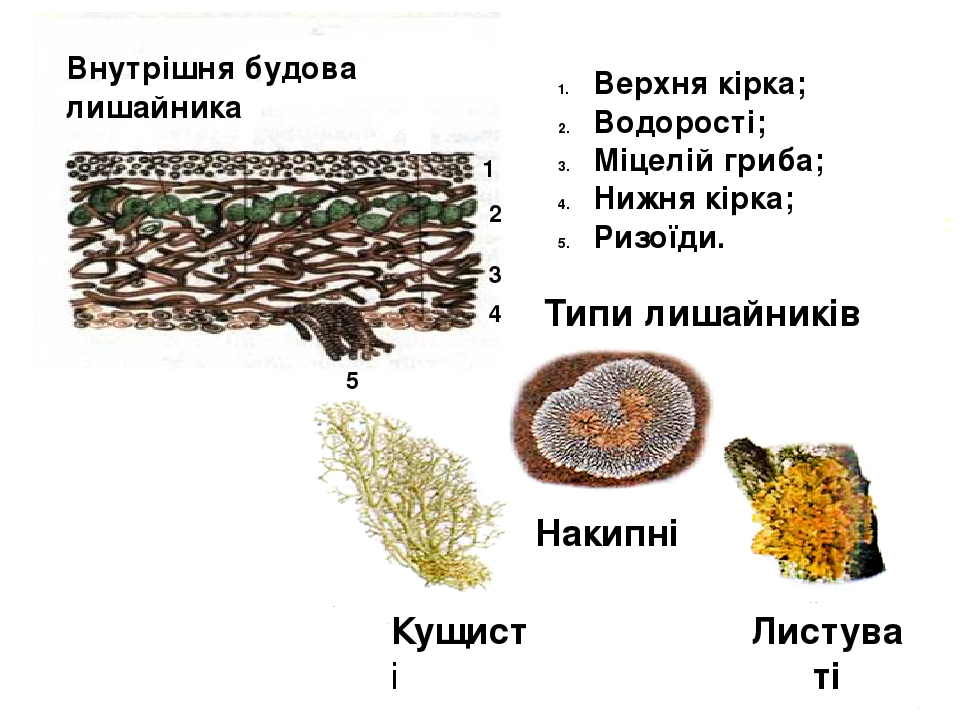 Внутрішня будова лишайника Типи лишайників 1 2 3 4 5 Верхня кірка; Водорості; Міцелій гриба; Нижня кірка; Ризоїди. Кущисті Накипні Листуваті