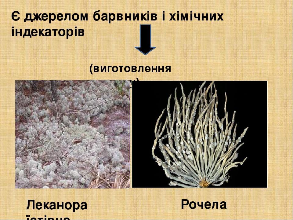 Є джерелом барвників і хімічних індекаторів (виготовлення лакмусу) Леканора їстівна Рочела
