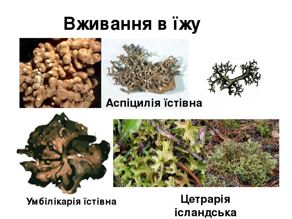 Вживання в їжу Аспіцилія їстівна Умбілікарія їстівна Цетрарія ісландська