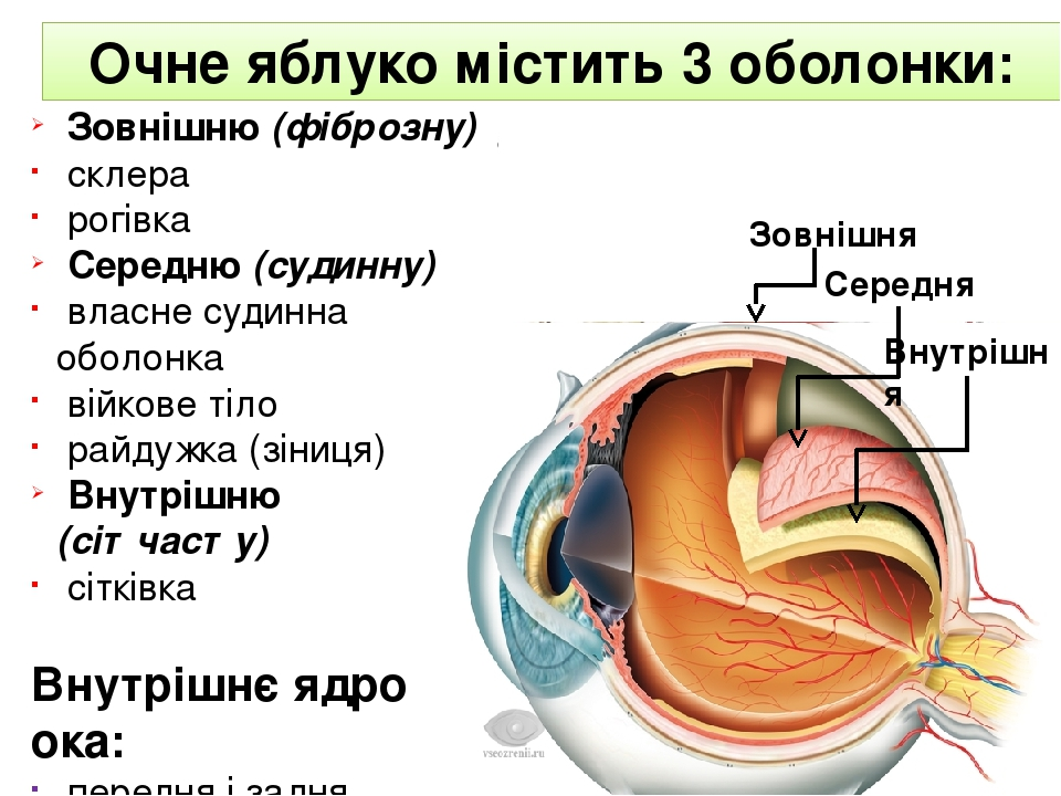 Зовнішня Зовнішню (фіброзну) склера рогівка Середню (судинну) власне судинна оболонка війкове тіло райдужка (зіниця) Внутрішню (сітчасту) сітківка ...