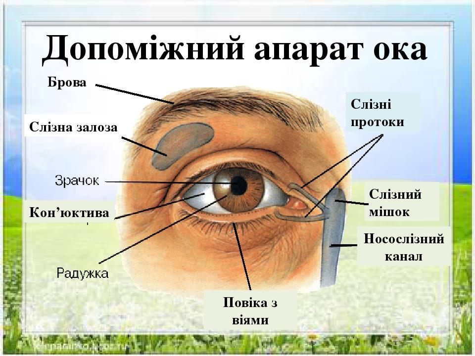 Допоміжний апарат ока Брова Слізна залоза Слізні протоки Слізний мішок Носослізний канал Повіка з віями Кон'юктива