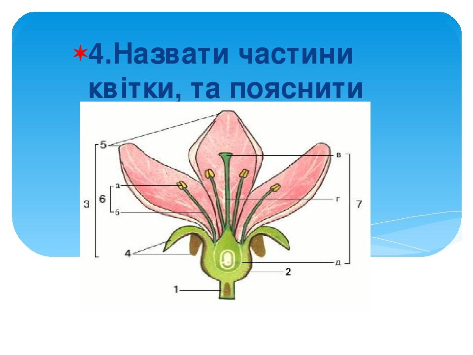 4.Назвати частини квітки, та пояснити їх функції.