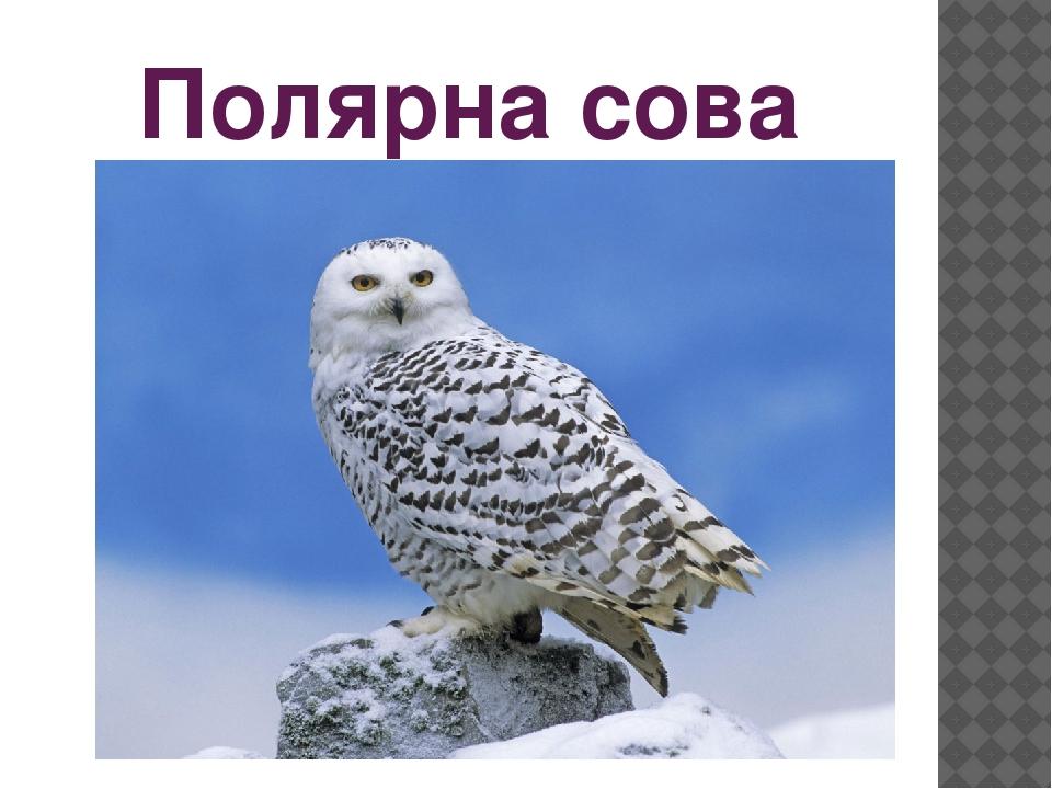 Полярна сова