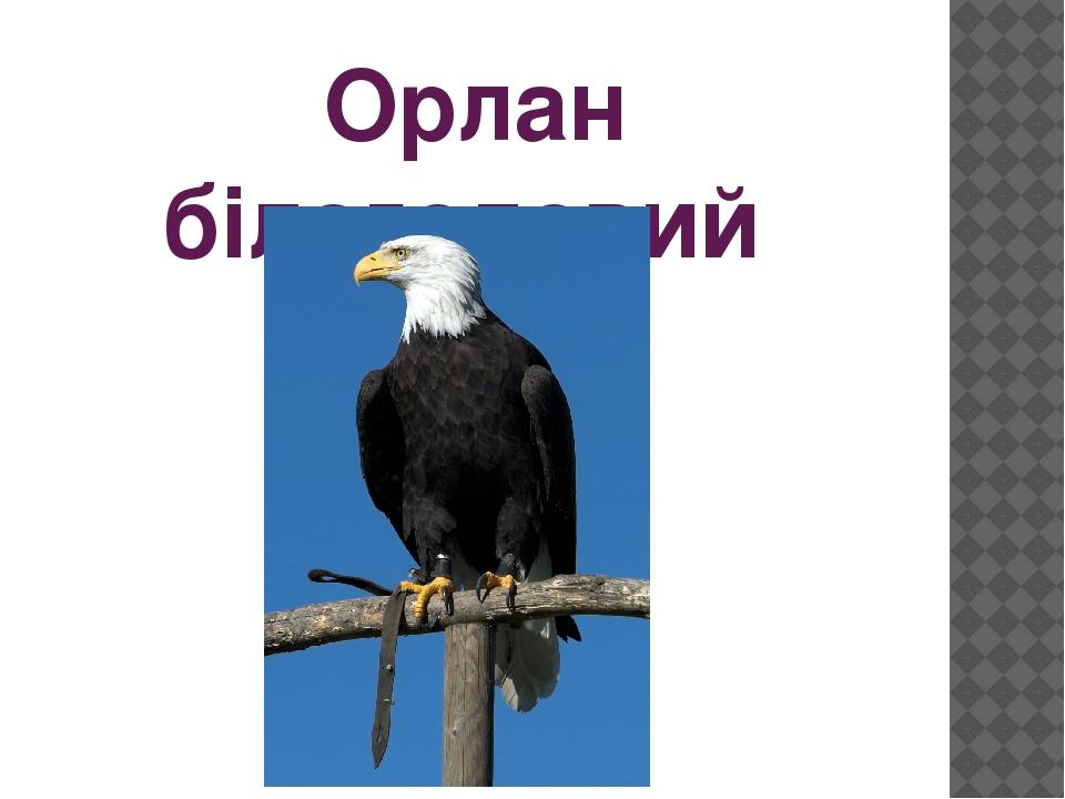 Орлан білоголовий