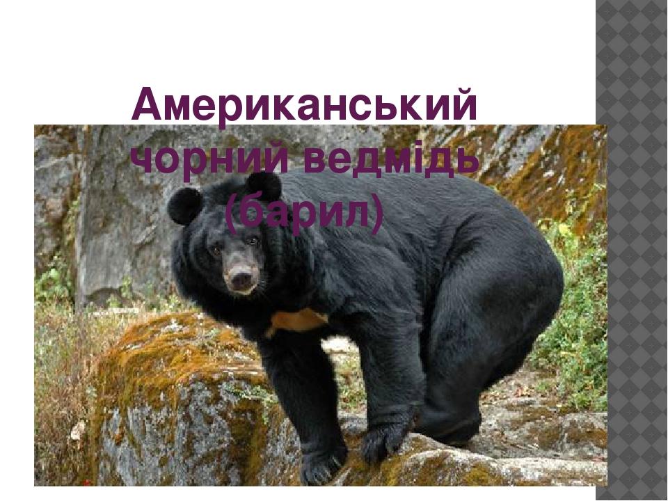 Американський чорний ведмідь (барил)