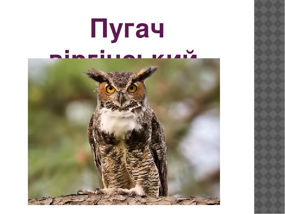 Пугач віргінський
