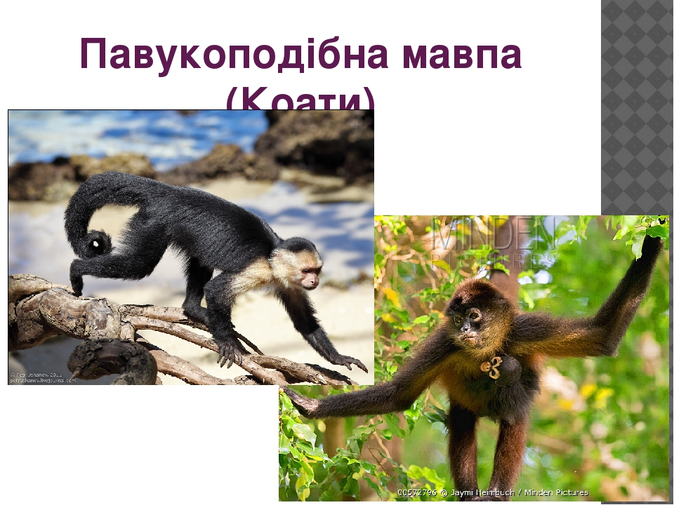 Павукоподібна мавпа (Коати)