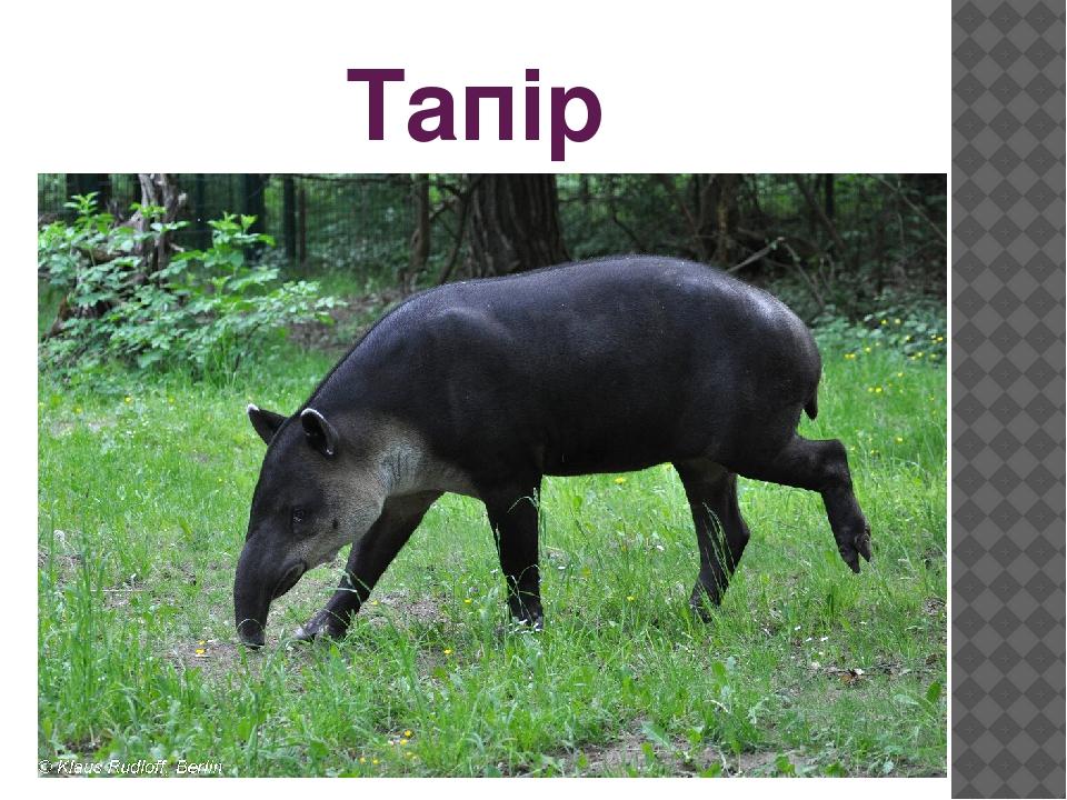 Тапір