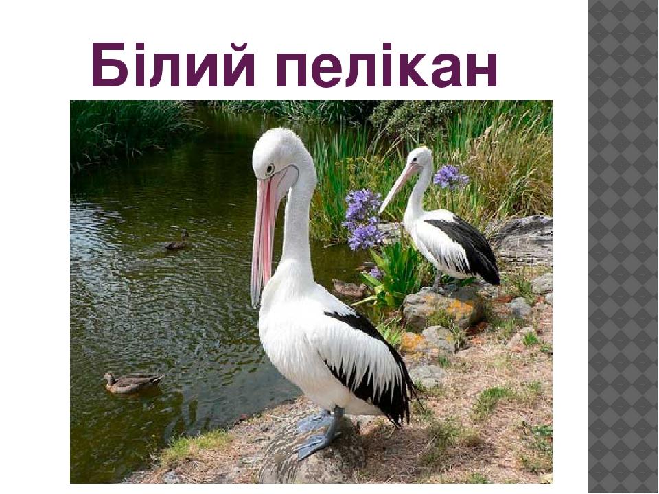 Білий пелікан