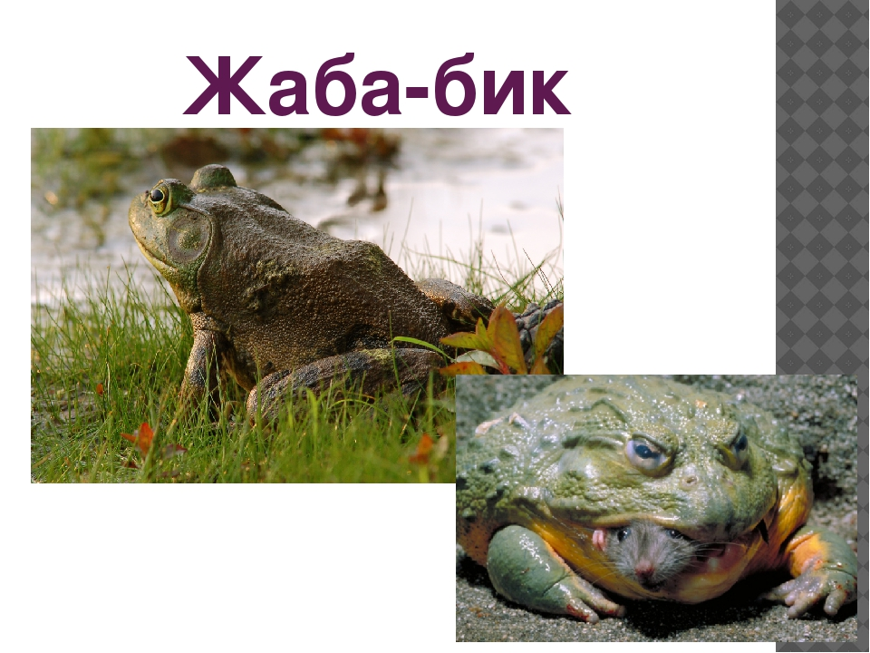 Жаба-бик