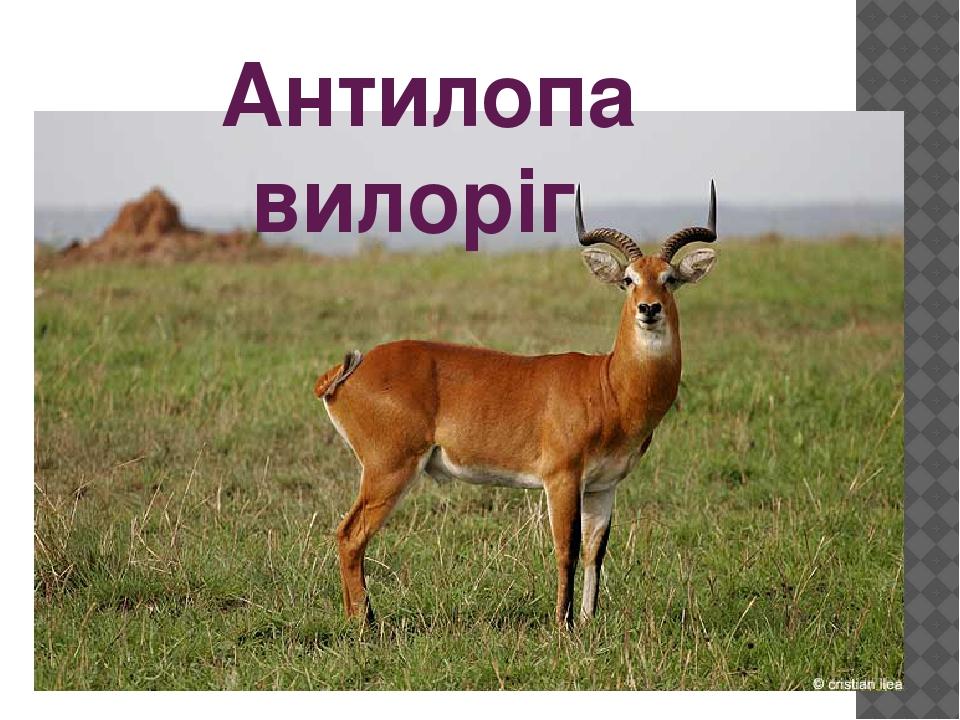 Антилопа вилоріг
