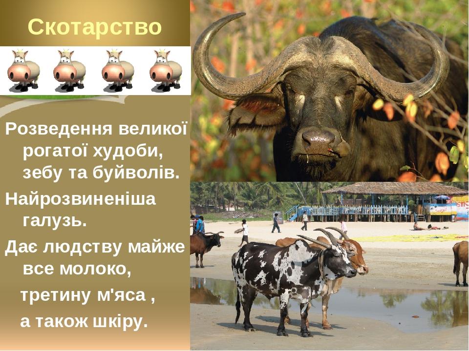 Розведення великої рогатої худоби, зебу та буйволів. Найрозвиненіша галузь. Дає людству майже все молоко, третину м'яса , а також шкіру.