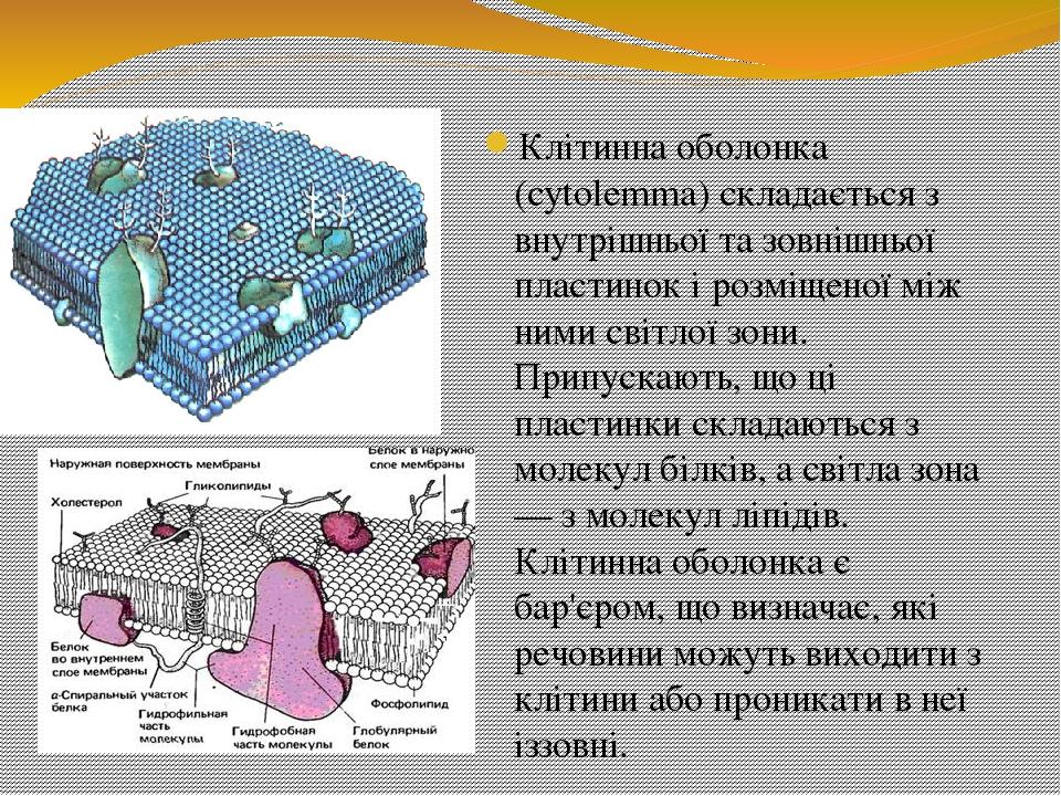 Клітинна оболонка (cytolemma) складається з внутрішньої та зовнішньої пластинок і розміщеної між ними світлої зони. Припускають, що ці пластинки ск...