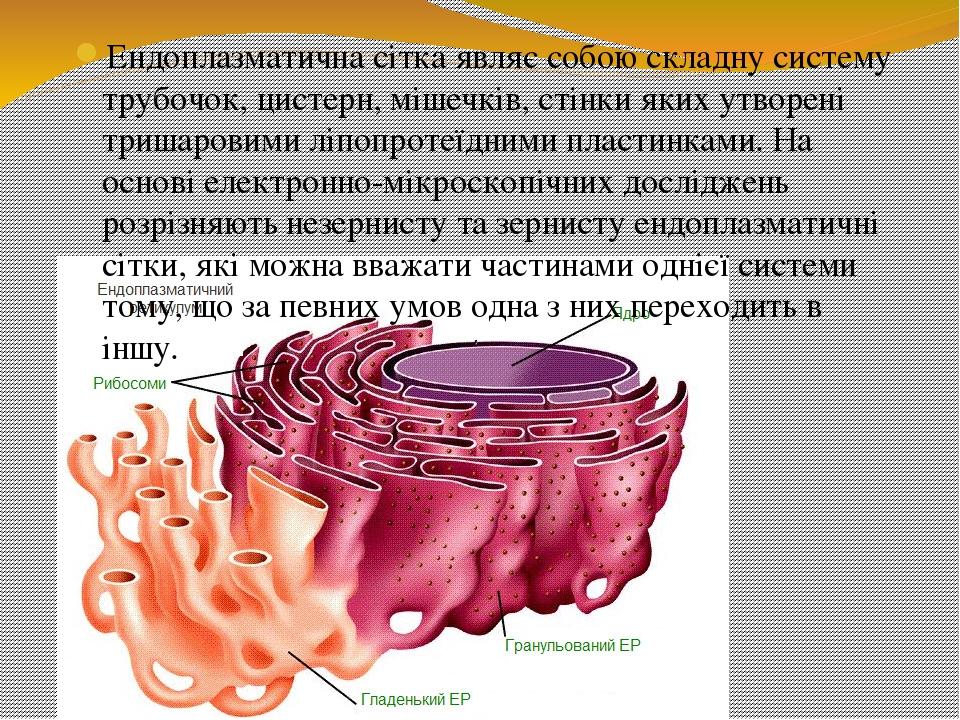 Ендоплазматична сітка являє собою складну систему трубочок, цистерн, мішечків, стінки яких утворені тришаровими ліпопротеїдними пластинками. На осн...