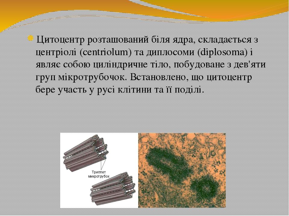 Цитоцентр розташований біля ядра, складається з центріолі (centriolum) та диплосоми (diplosoma) і являє собою циліндричне тіло, побудоване з дев'ят...