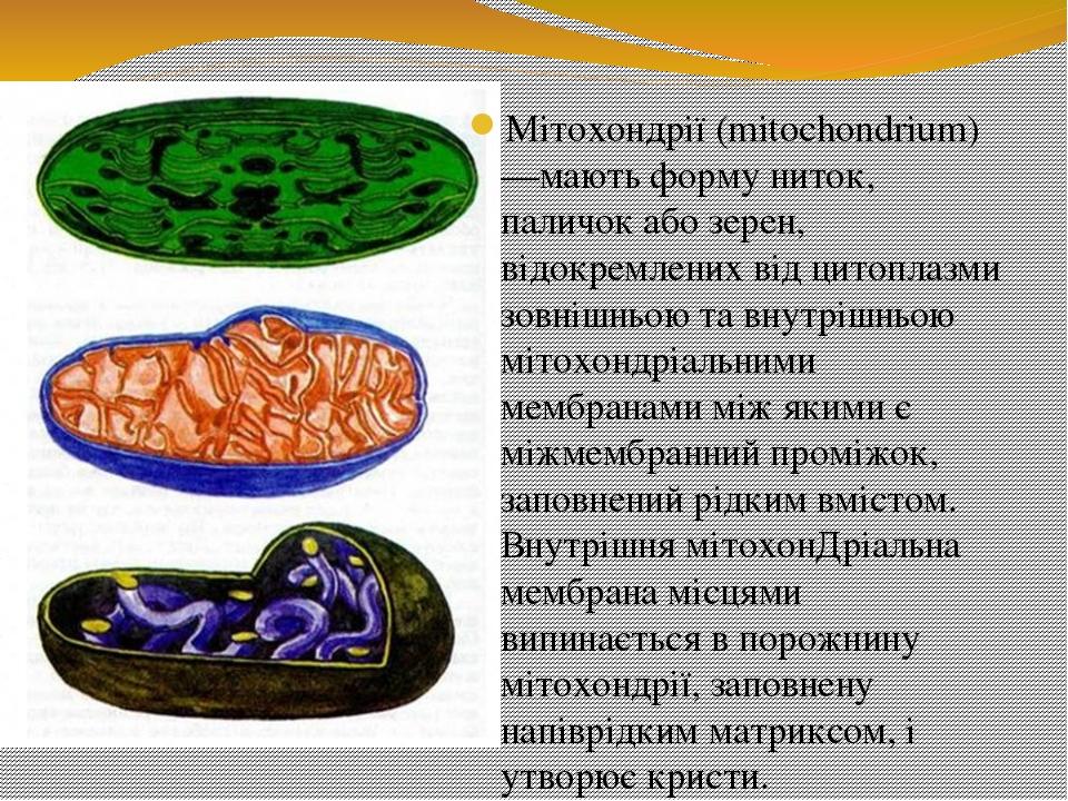 Мітохондрії (mitochondrium) —мають форму ниток, паличок або зерен, відокремлених від цитоплазми зовнішньою та внутрішньою мітохондріальними мембран...