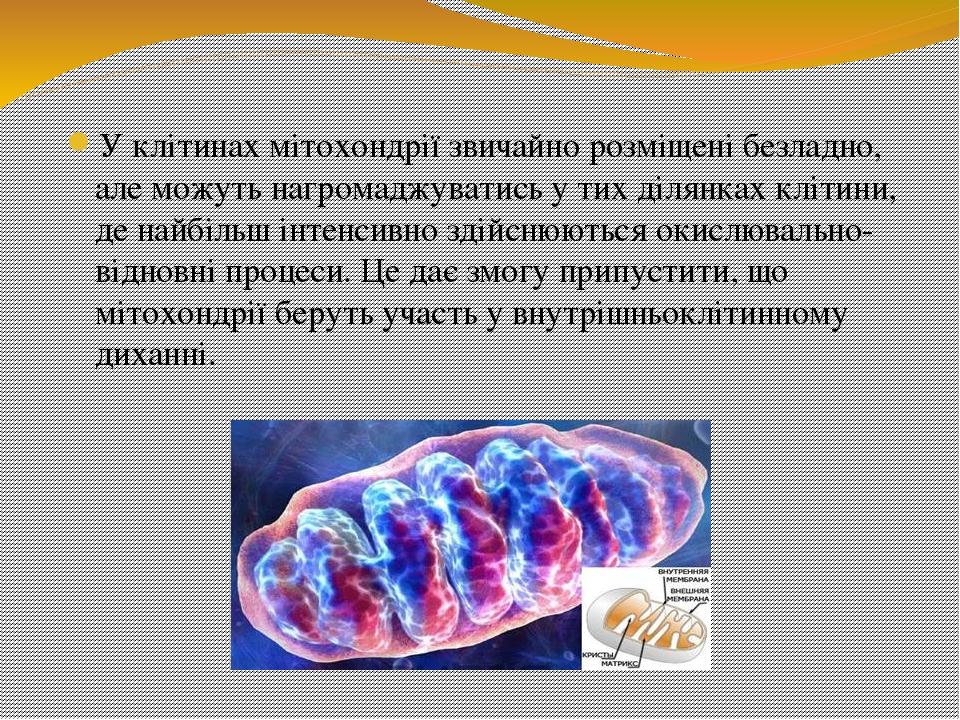 У клітинах мітохондрії звичайно розміщені безладно, але можуть нагромаджуватись у тих ділянках клітини, де найбільш інтенсивно здійснюються окислюв...