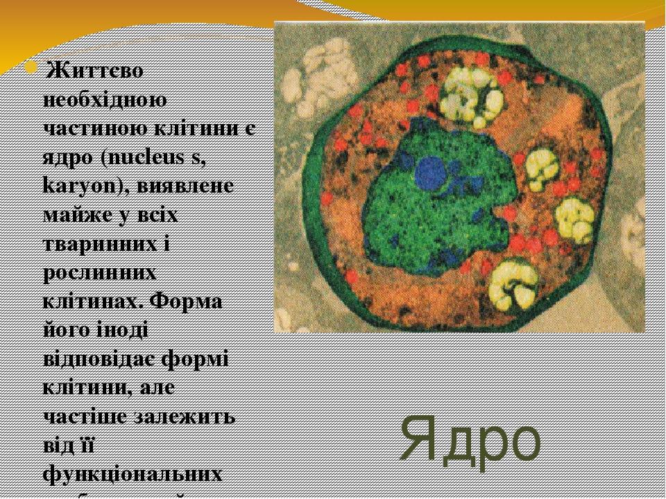 Ядро Життєво необхідною частиною клітини є ядро (nucleus s, karyon), виявлене майже у всіх тваринних і рослинних клітинах. Форма його іноді відпові...