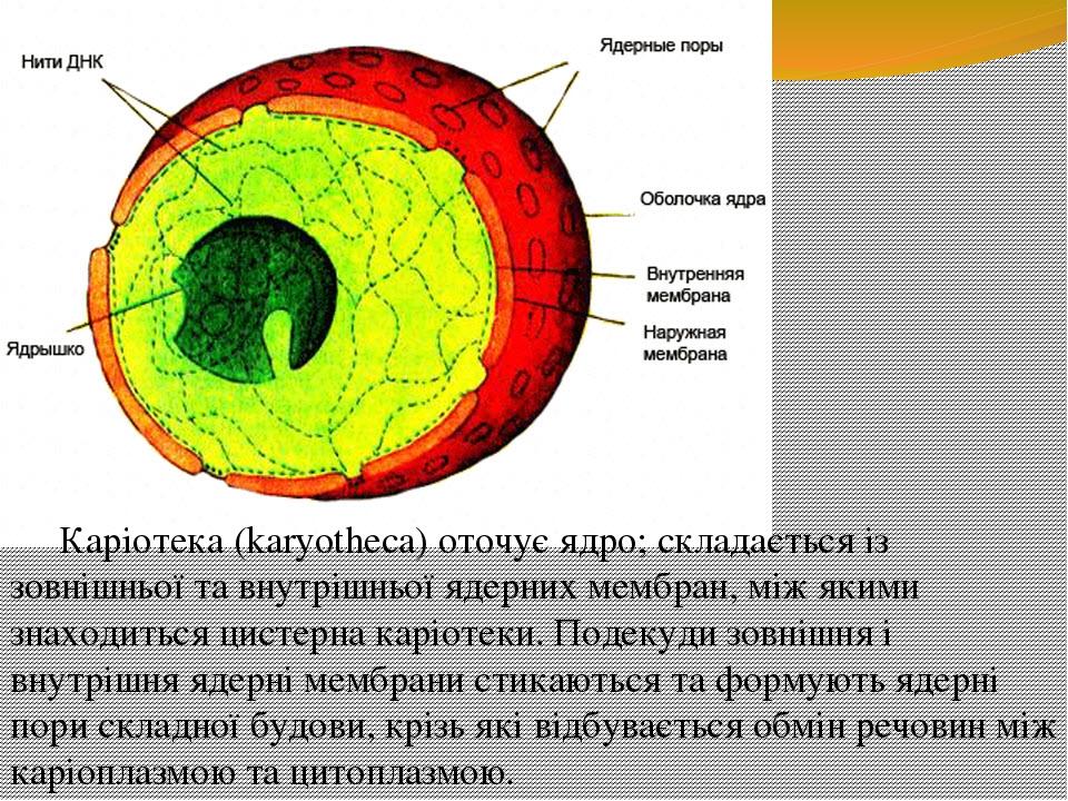 Каріотека (karyotheca) оточує ядро; складається із зовнішньої та внутрішньої ядерних мембран, між якими знаходиться цистерна каріотеки. Подекуди зо...