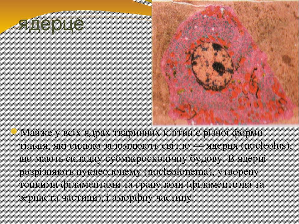ядерце Майже у всіх ядрах тваринних клітин є різної форми тільця, які сильно заломлюють світло — ядерця (nucleolus), що мають складну субмікроскопі...