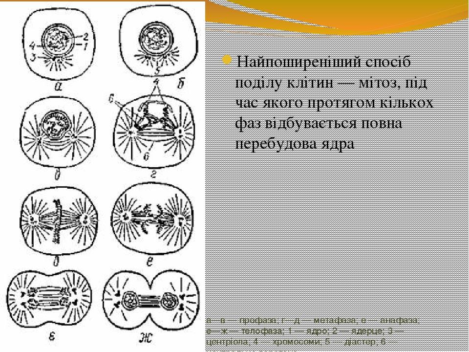 а—в — профаза; г—д — метафаза; е — анафаза; е—ж — телофаза; 1 — ядро; 2 — ядерце; 3 — центріола; 4 — хромосоми; 5 — діастер; 6 — центральне веретен...