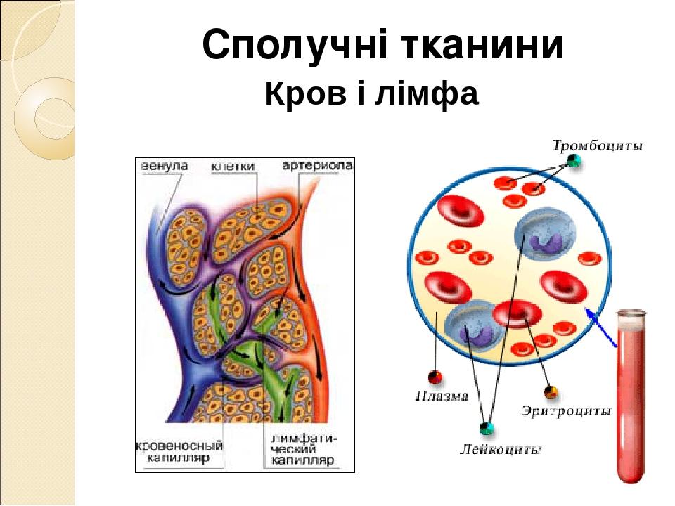 Кров і лімфа Сполучні тканини
