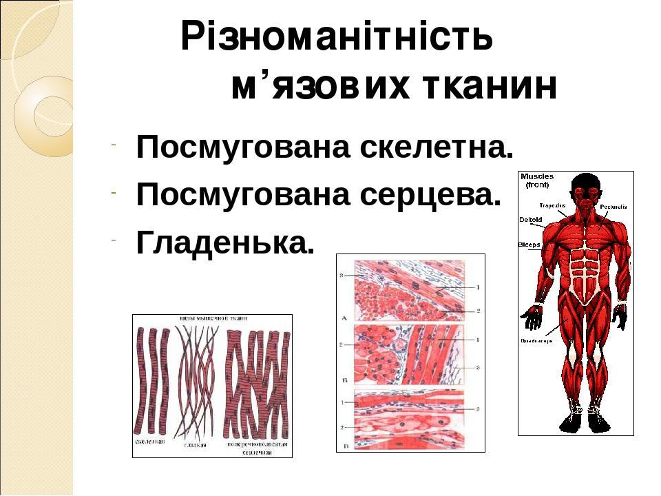 Різноманітність м'язових тканин Посмугована скелетна. Посмугована серцева. Гладенька.