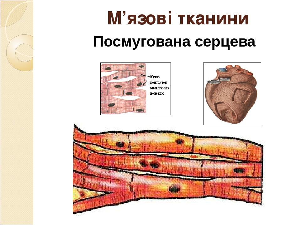 Посмугована серцева М'язові тканини