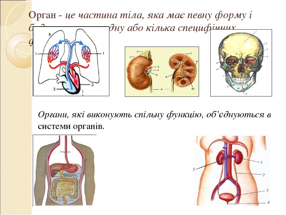Орган - це частина тіла, яка має певну форму і будову, виконує одну або кілька специфічних функцій. Органи, які виконують спільну функцію, об'єдную...