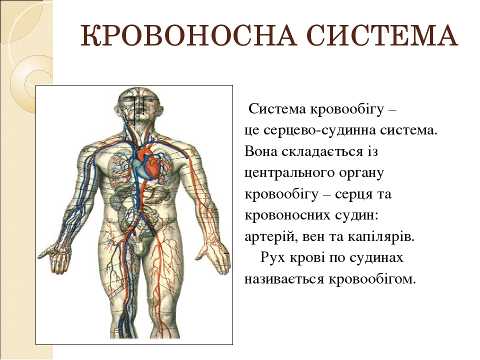 КРОВОНОСНА СИСТЕМА Система кровообігу – це серцево-судинна система. Вона складається із центрального органу кровообігу – серця та кровоносних судин...