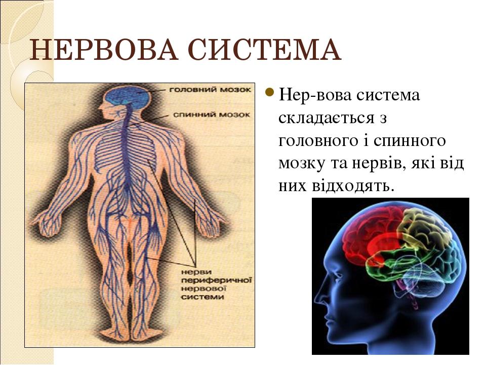 НЕРВОВА СИСТЕМА Нервова система складається з головного і спинного мозку та нервів, які від них відходять.