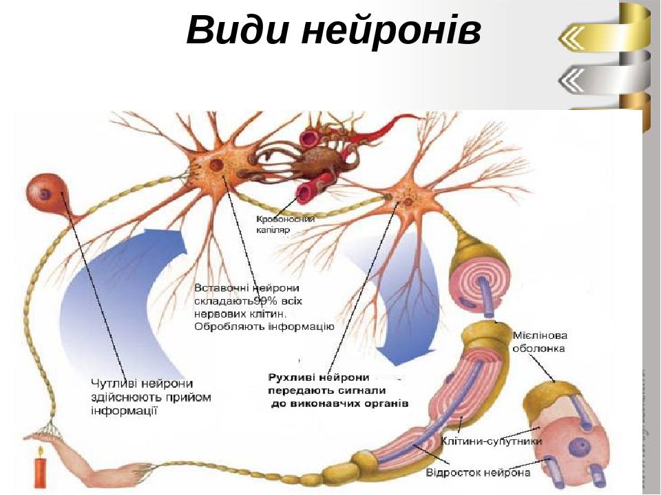 Види нейронів