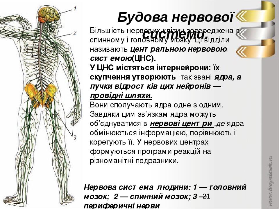Будова нервової системи. Більшість нервових клітин зосереджена в спинному і головному мозку. Ці відділи називають центральною нервовою системою(ЦНС...