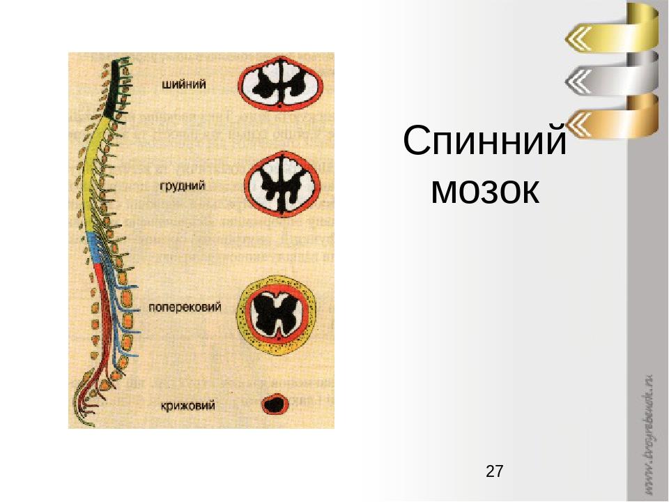 Спинний мозок
