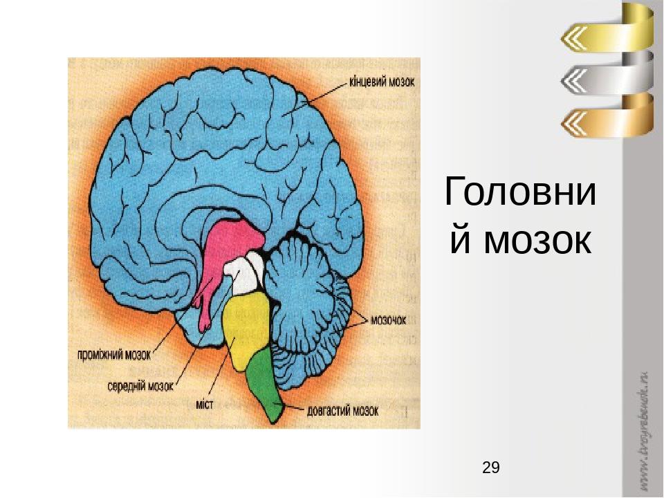 Головний мозок