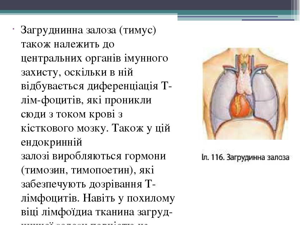 Загруднинна залоза (тимус) також належить до центральних органів імунного захисту, оскільки в ній відбувається диференціація Т-лім-фоцитів, які про...
