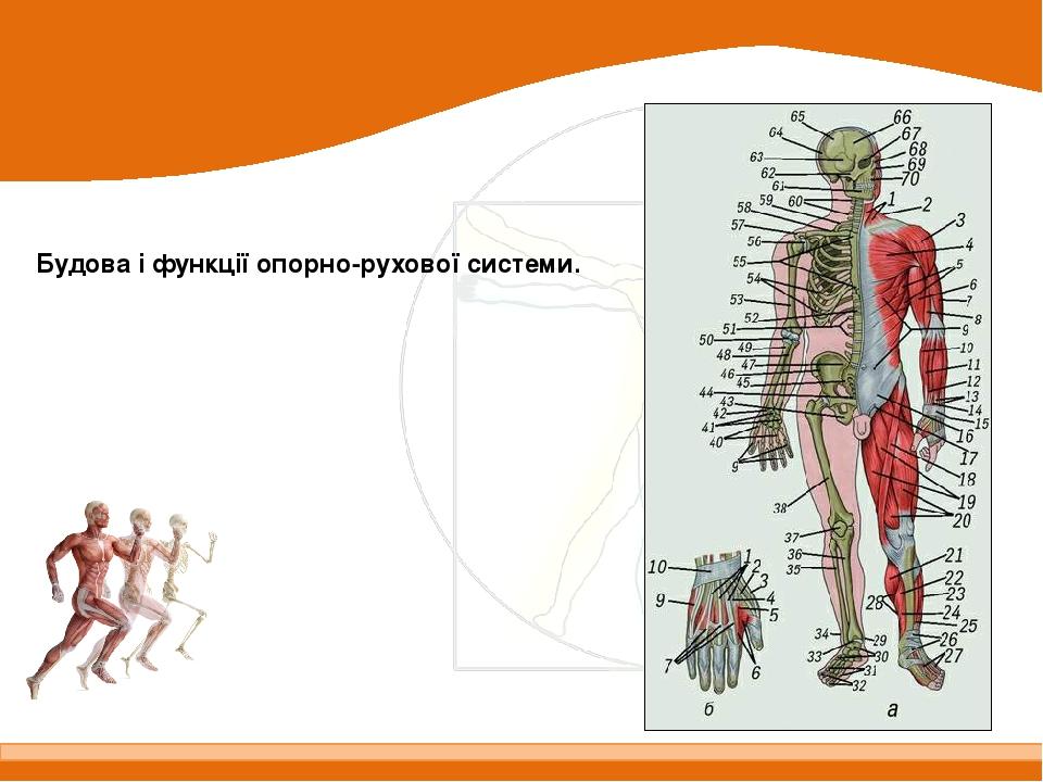 Будова і функції опорно-рухової системи.