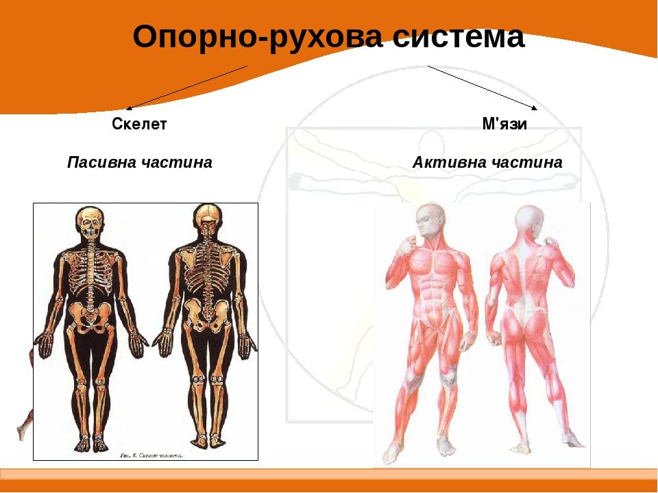 Опорно-рухова система Пасивна частина Активна частина Скелет М'язи