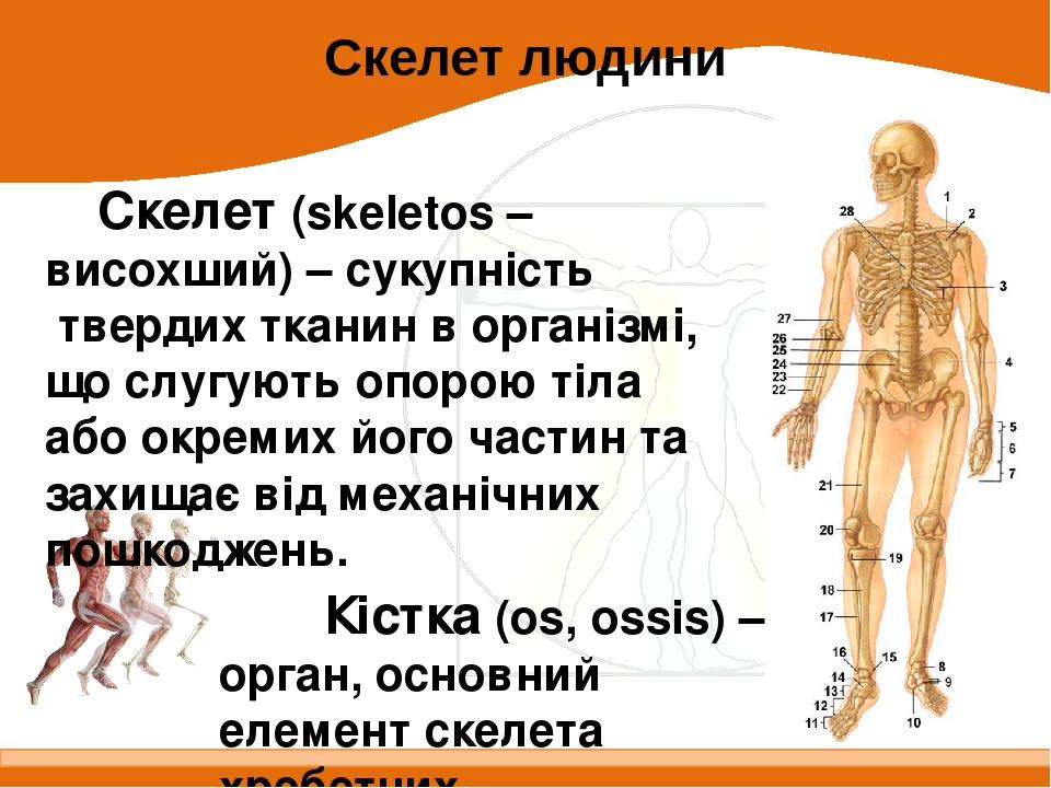 Скелет (skeletos – висохший) – сукупність твердих тканин в організмі, що слугують опорою тіла або окремих його частин та захищає від механічних пош...