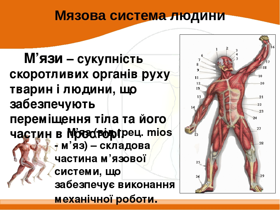 М'язи – сукупність скоротливих органів руху тварин і людини, що забезпечують переміщення тіла та його частин в просторі. Мязова система людини М'яз...