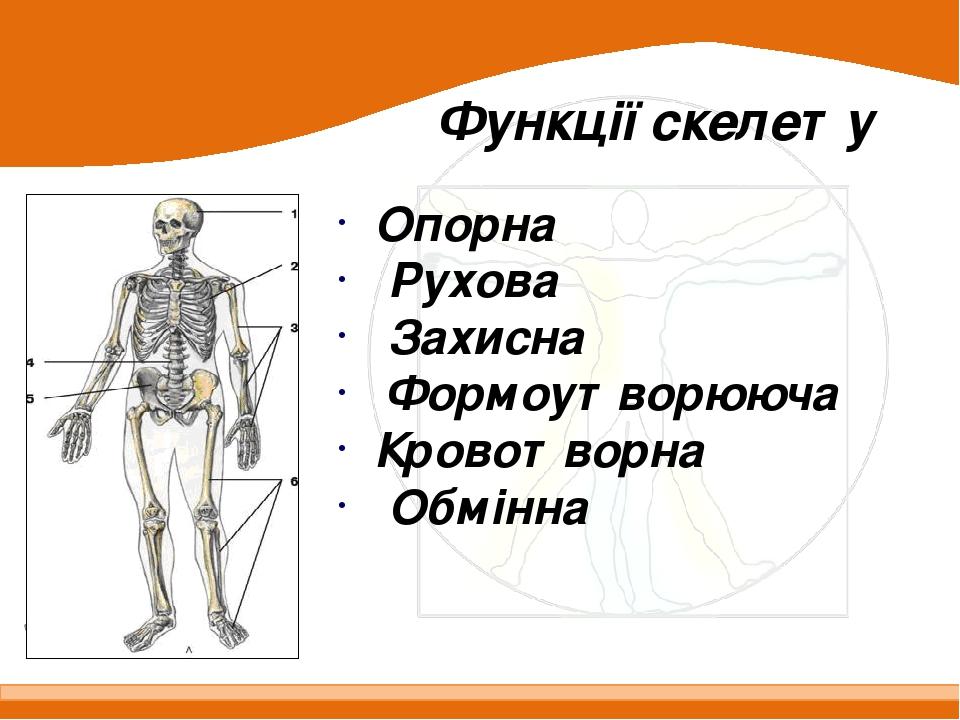 Опорна Рухова Захисна Формоутворююча Кровотворна Обмінна Функції скелету